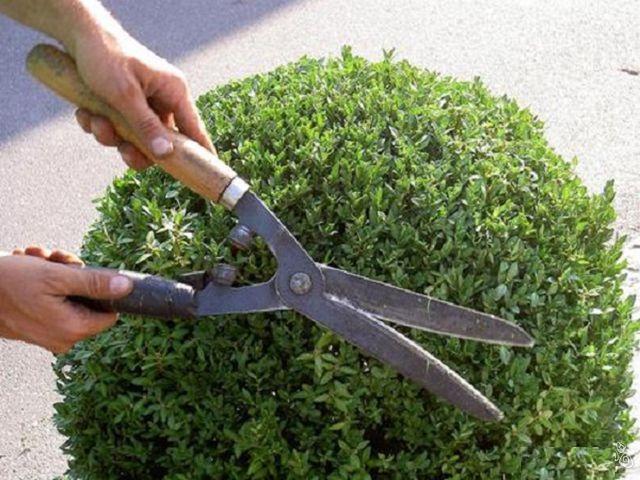 стрижка кустарников ножницами