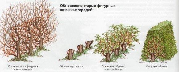 правильная стрижка деревьев
