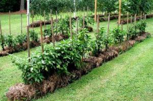лечение и подкормка сада